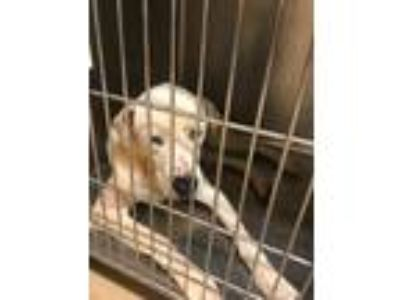 Adopt Baxter a White Hound (Unknown Type) / Husky / Mixed dog in Reidsville