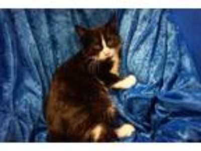 Adopt Josey a Domestic Medium Hair, Maine Coon
