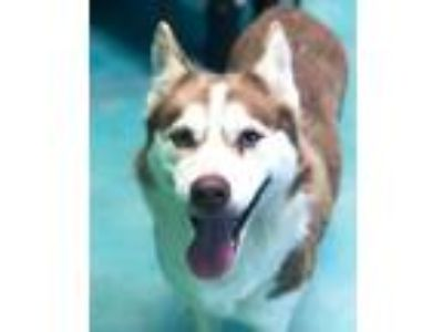 Adopt Echo a Red/Golden/Orange/Chestnut - with White Siberian Husky / Mixed dog