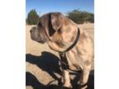 Adopt AXEL a Shar-Pei, Mixed Breed