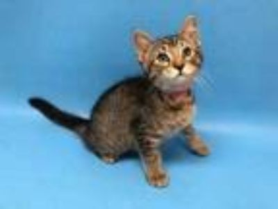 Adopt Infinity a Brown or Chocolate Domestic Shorthair / Mixed cat in Golden