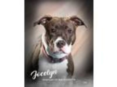 Adopt Jocelyn a Pit Bull Terrier