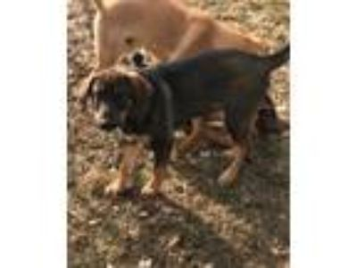 Adopt Ike a Black - with Tan, Yellow or Fawn Anatolian Shepherd / Mixed dog in