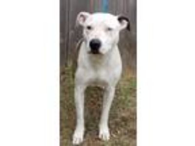 Adopt Sage a Pit Bull Terrier