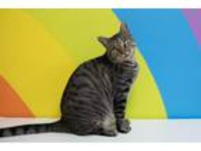 Adopt Ambrose a Brown Tabby Domestic Shorthair (short coat) cat in Houston