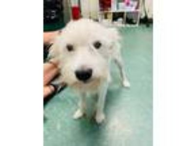 Adopt Trax a White Terrier (Unknown Type, Small) / Mixed dog in Clearwater