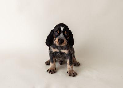 Bluetick Coonhound PUPPY FOR SALE ADN-104696 - Bluetick Coonhound Puppies