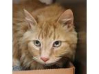 Adopt Sunny a Domestic Longhair / Mixed cat in Sioux City, IA (25281639)