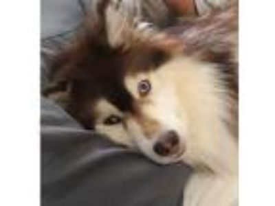 Adopt Thor a Red/Golden/Orange/Chestnut - with White Siberian Husky / Mixed dog