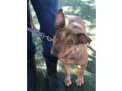 Adopt Tilly a Tan/Yellow/Fawn American Pit Bull Terrier / Mixed dog in Fresno