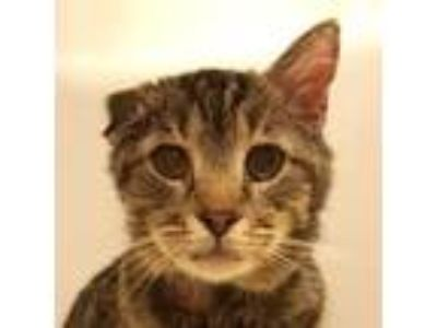 Adopt Cassius a Brown or Chocolate Domestic Shorthair / Domestic Shorthair /