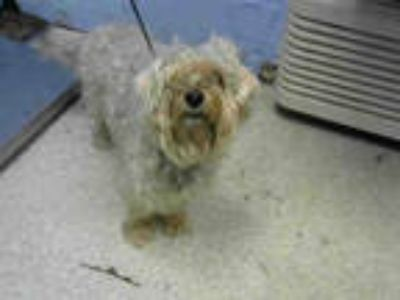 Adopt LUCY a White Lhasa Apso / Poodle (Miniature) / Mixed dog in Atlanta