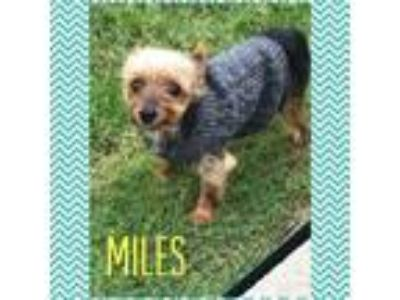 Adopt Miles (Dallas) a Yorkshire Terrier