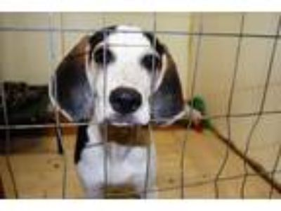 Adopt Sady a Beagle / Coonhound / Mixed dog in North Myrtle Beach, SC (19459978)
