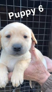 Stunning Chunky Golden Labradors