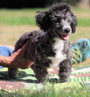 "AKC Mini Poodle Puppy. Silver Male ""Henry"""