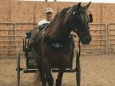 6 yr old Silver Dabble Friesian Cross Riding and Driving Mare