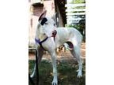 Adopt Ireland a White - with Black Great Dane / Mixed dog in Lubbock