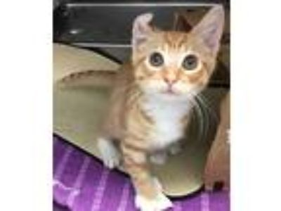 Adopt Bobby a Orange or Red Tabby Domestic Shorthair (short coat) cat in Loudon