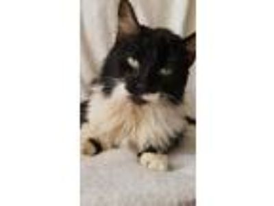 Adopt Henrietta a Black & White or Tuxedo Maine Coon (long coat) cat in Gilbert