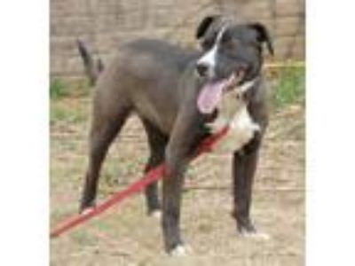 Adopt Bonnie a Black - with White Labrador Retriever / Mixed dog in Shelbyville