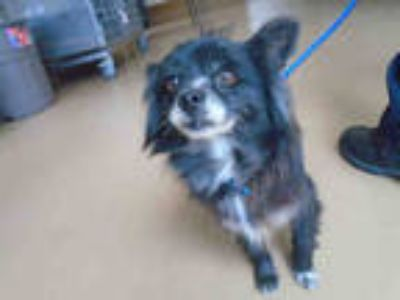 Adopt a Black - with Gray or Silver Pomeranian / Mixed dog in Chula Vista