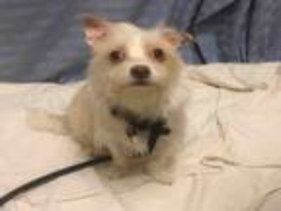 Adopt PEARL a Norfolk Terrier, Mixed Breed