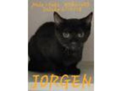 Adopt Jorgen a Domestic Shorthair / Mixed (short coat) cat in Fayetteville
