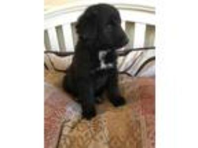 Adopt Tilly Doodle a Black Golden Retriever / Labradoodle dog in Mesquite