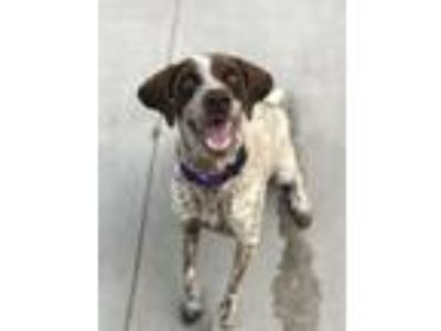 Adopt Maggie a German Shorthaired Pointer