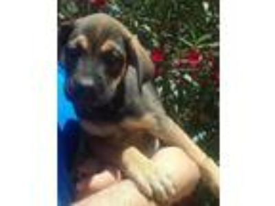 Adopt Andrea a German Shepherd Dog