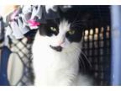Adopt Kendall a Domestic Short Hair