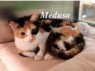 Adopt Medusa a White Domestic Shorthair / Domestic Shorthair / Mixed cat in