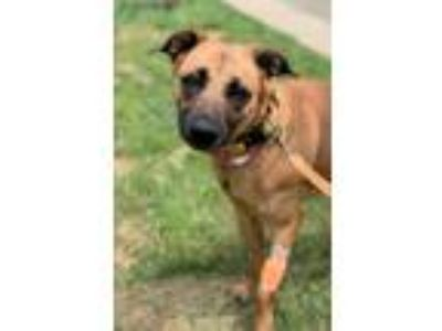 Adopt Malin a Tan/Yellow/Fawn - with Black Retriever (Unknown Type) / Shepherd