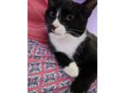 Adopt Francis a Black & White or Tuxedo Domestic Shorthair (short coat) cat in