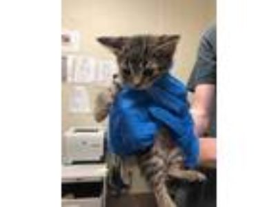 Adopt Bandit a Gray or Blue Domestic Shorthair / Domestic Shorthair / Mixed cat