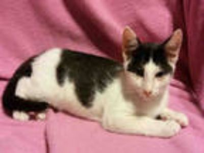 Adopt LOTUS a Black & White or Tuxedo Domestic Shorthair / Mixed (short coat)