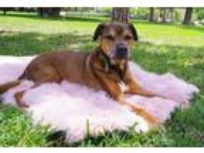 Adopt Rollie a Rottweiler, German Shepherd Dog
