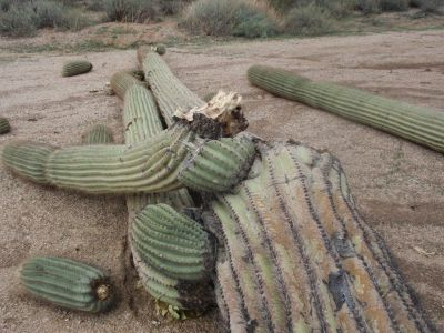 24 HOUR EMERGENCY CACTUS REMOVAL - GILBERT AZ