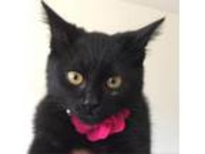 Adopt Kimmie a All Black Domestic Shorthair cat in Los Angeles, CA (23511002)