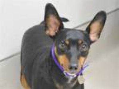 Adopt Til a Manchester Terrier / Mixed dog in Portland, OR (25889198)