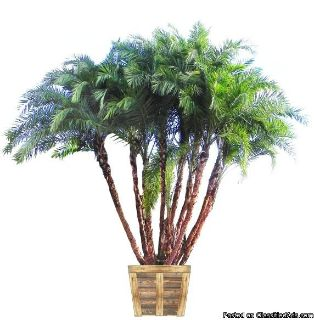 Senegal Date Palms for Sale