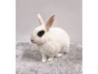 Adopt Miss Adventure a White Dwarf Hotot / Mixed (short coat) rabbit in Los