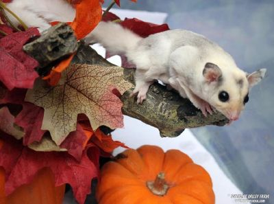 Sugar Gliders 10% off