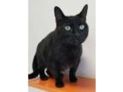Adopt Sir a All Black Domestic Shorthair / Domestic Shorthair / Mixed cat in