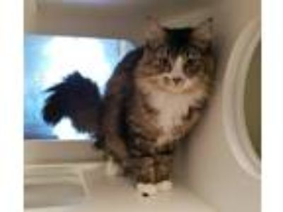 Adopt Breaker Of Chains a Domestic Longhair / Mixed cat in Topeka, KS (25290913)