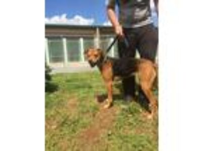 Adopt Sugar a Brown/Chocolate - with Black German Shepherd Dog / Mixed dog in