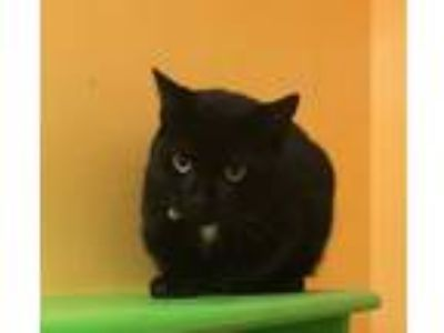 Adopt Knoxville a Domestic Short Hair