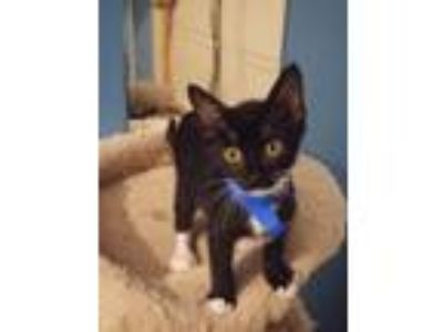 Adopt Lucifurr a Black & White or Tuxedo Domestic Shorthair / Mixed (short coat)