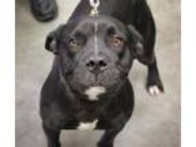 Adopt Blackie a Staffordshire Bull Terrier, Mixed Breed